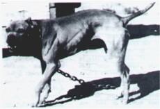 Bert Sorrells Pit Bulls